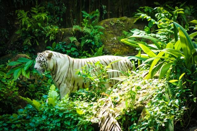 野生のトラが怪我をした時にツボクサを体にこすりつけたという伝説もあるそうで別名タイガーズハーブと呼ばれています。