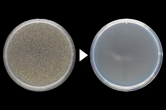 黄色ブドウ球菌殺菌効力試験